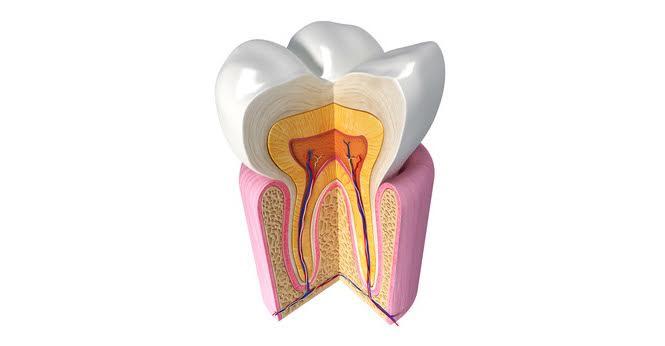 Conservativa - Un molare in sezione.